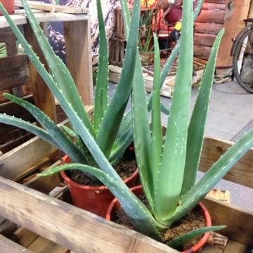 Aloe Vera im Topf