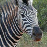 Zebra P1050021 - dieses Foto ist Eigentum von C. Ruff und darf ohne Genehmigung nicht genutzt werden.