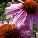 Echinacea - dieses Foto ist Eigentum von C. Ruff und darf ohne Genehmigung nicht genutzt werden.